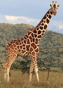 giraffe-main_1161152a