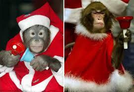 Santa monkeys
